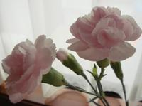 Carnations_1