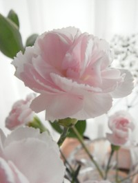 Carnations_2