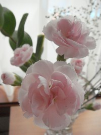 Carnations_3