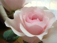 Rose0523091