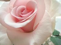 Rose0523092