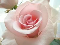 Rose0523093