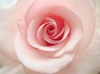 Rose0523095